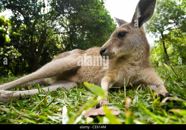 Young kangaroo lying down in the grass under trees - Stock Image