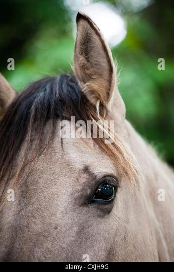 Konik horse (Equus caballus) - Stock Image