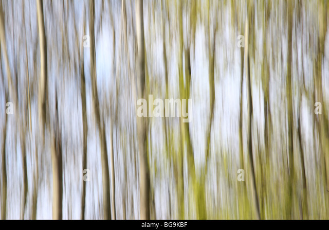 Abstract shot of Silver Birch Trees - Stock Image