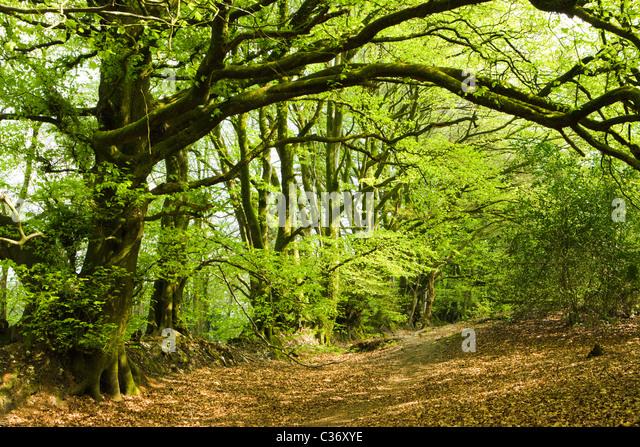 Dommett Wood, Somerset, UK. Beech trees. - Stock Image