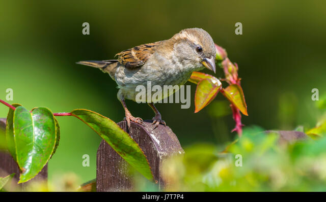 Passer domesticus. Juvenile House Sparrow perching on a post in early Summer in the south of England, UK. - Stock Image