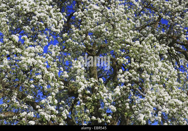 Flowering fruit trees spring sunshine stock photos for Domestica in svizzera