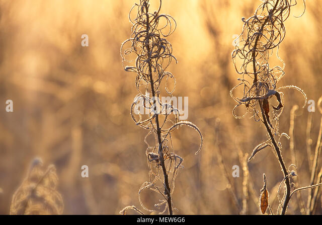 Frost covered withered stalks of fireweed are illuminated by the morning sun. - Stock Image