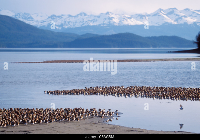 Shorebird flock (mostly Western Sandpipers and Dunlins) roosting in front of the Chugach Mountains, Copper River - Stock Image