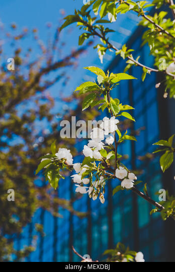 white blossoms on tree in spring with deep blue modern building in the background shot at shallow depth of field - Stock Image