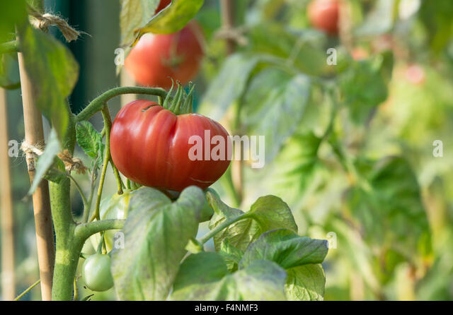Tomato Pink Brandywine ripening on the vine - Stock Image