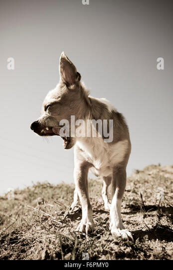 Desaturated full body yawning forward facing head in profile small Chihuahua dog standing on hilltop at midday - Stock Image