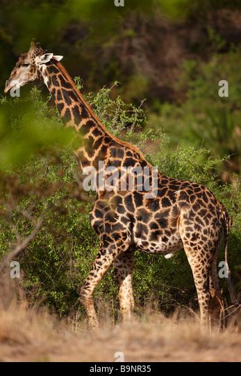 giraffe in the bush, Kruger National Park, South Africa - Stock Image