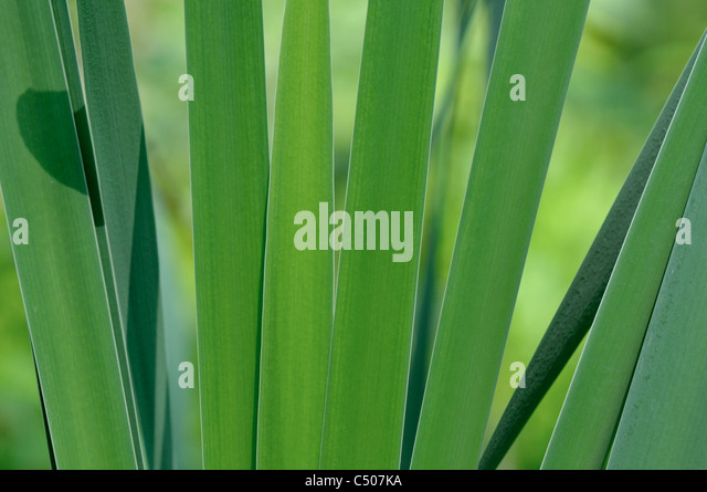 Blades of Sweet Flag or Calamus  in morning light - Stock Image