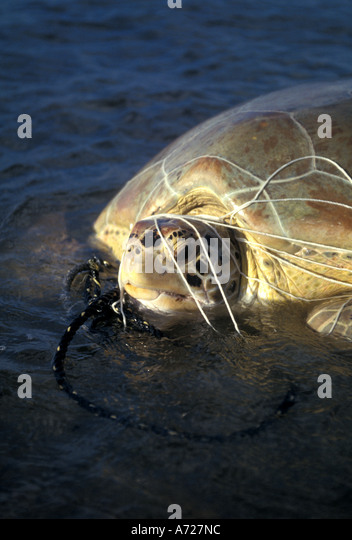 Loggerhead Sea Turtle trapped  and tangled in fish nett - Stock Image