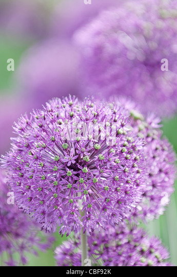 Allium Hollandicum 'Purple sensation', Allium, Purple flower subject. - Stock Image