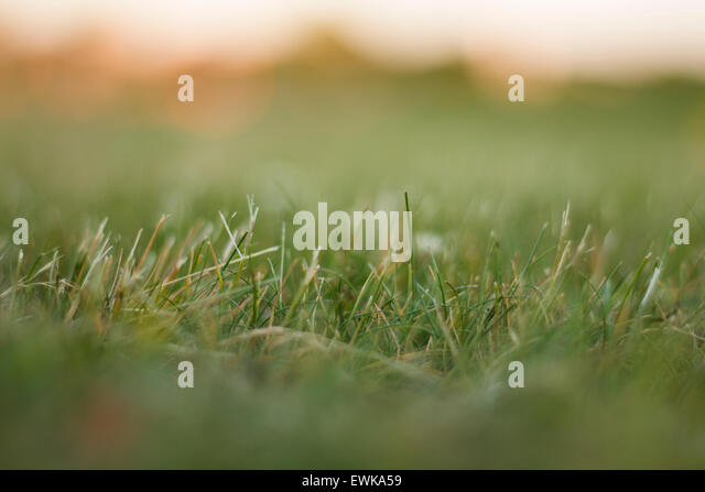 Selected linear focus on blades of grass, taken during the summer of 2015. - Stock Image