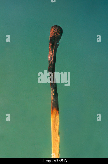 Burnt Out Matchstick - Stock Image