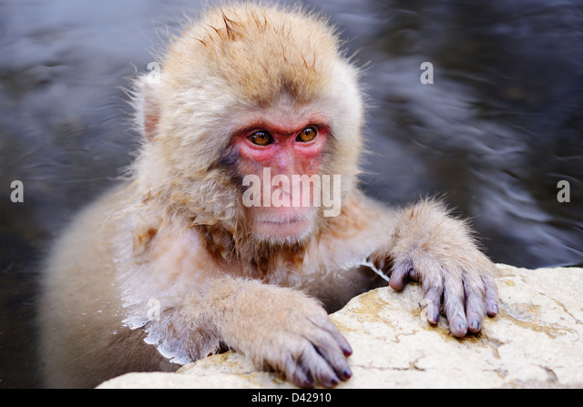 A Japanese Macaque relaxes in the hot spring. - Stock-Bilder