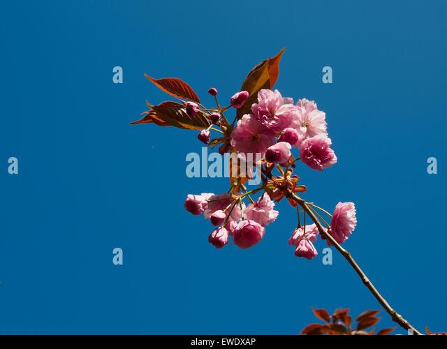 Japanese flowering cherry tree Kanzan - Stock Image