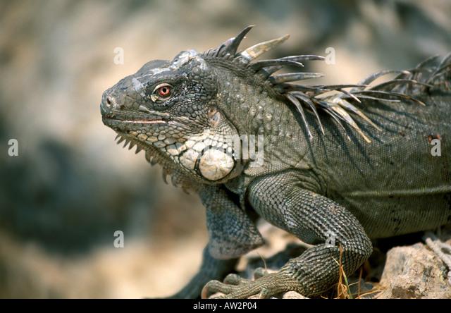 Bonaire Netherlands Antilles Green Iguana - Stock Image