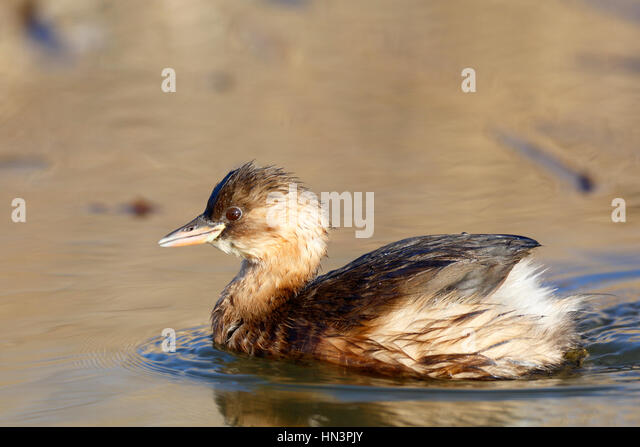 Little Grebe (Tachybaptus ruficollis), plumage, bird swimming on lake, Middle Elbe Biosphere Reserve, Saxony-Anhalt, - Stock Image