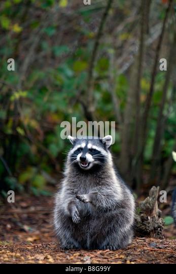 Raccoon in Shelton Washington USA - Stock Image