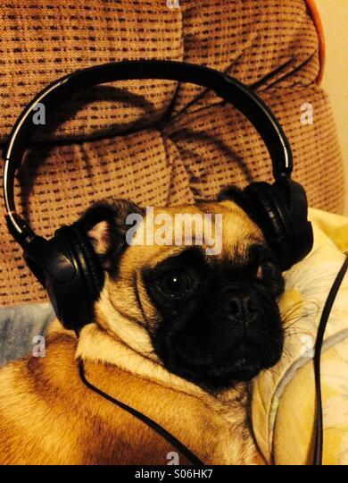 Headphone Pug - Stock-Bilder