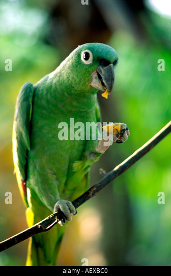 Costa Rica green parrot  - Stock Image