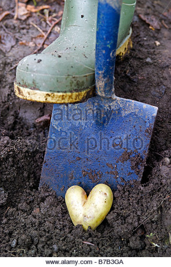 Gardener digging a valentine heart shaped potato from the earth using a spade and wearing green wellington boots - Stock Image