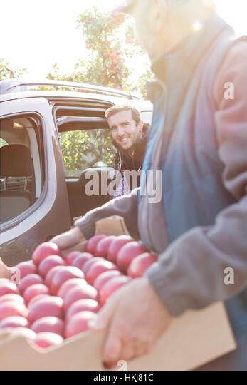 Male farmers loading red apples into car in sunny orchard - Stock-Bilder