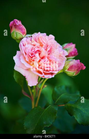 pink garden rose background - Stock-Bilder