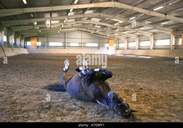 Horse rolling on its back stock photos