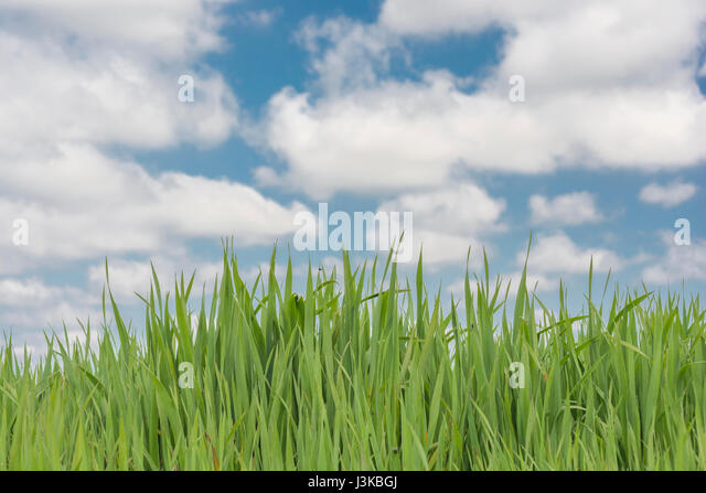 Fresh green grass against blue sky - metaphor for 'grass' sayings -  'Don't Let the Grass Grow Under - Stock Image