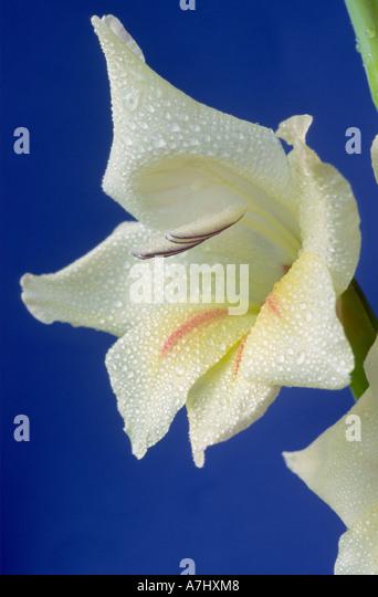 Gladiolus 'Halley'. Nanus group. - Stock Image