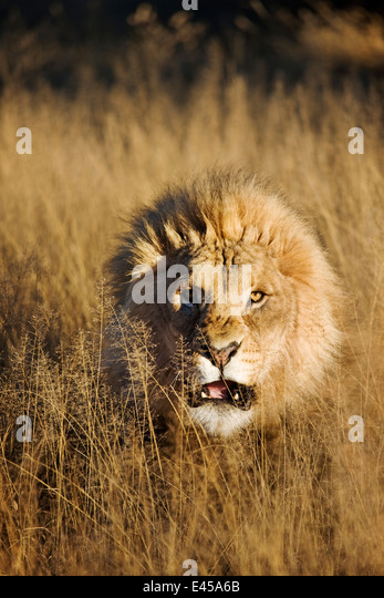 Snarling Male Lion (Panthera leo) - Stock Image