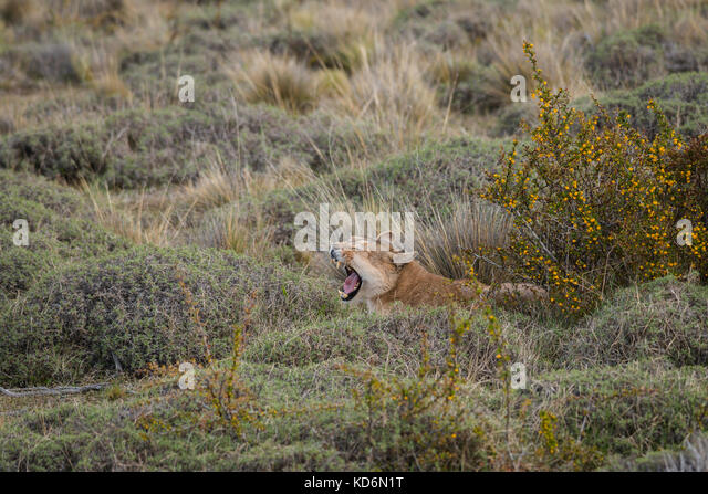 Puma (Puma concolor) from Torres del Paine, Chile - Stock Image
