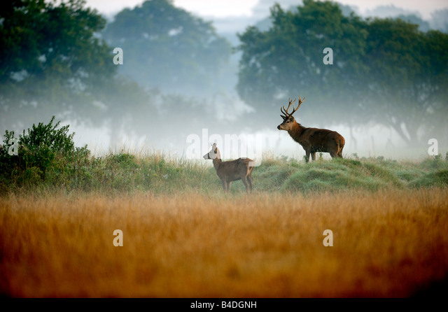 Young Red Deer Stags in the mist - Stock Image