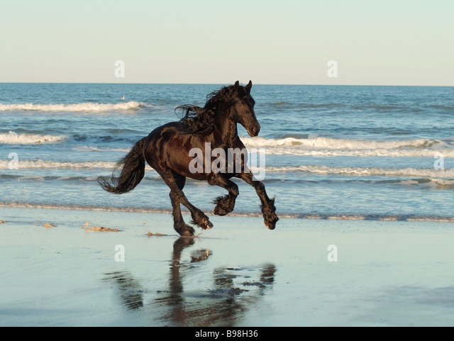 Friesian horse running on beach - Stock Image