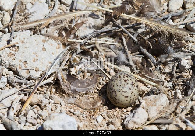 Heermann's gull (Larus heermanni) nest with egg, Isla Rasa, Gulf of California (Sea of Cortez), Mexico, North - Stock Image