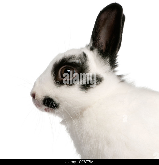 Close-up of Dalmatian rabbit, 2 months old, Oryctolagus cuniculus, in front of white background - Stock Image