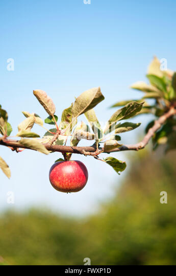 Sweden, Skane, Kivik, Red apple on apple tree - Stock Image
