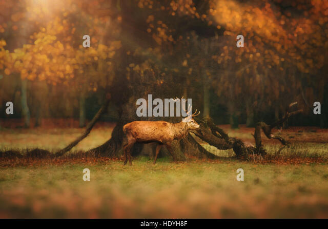 deer,woods,park,forest,wild,nature,wilderness,tree,magical - Stock Image