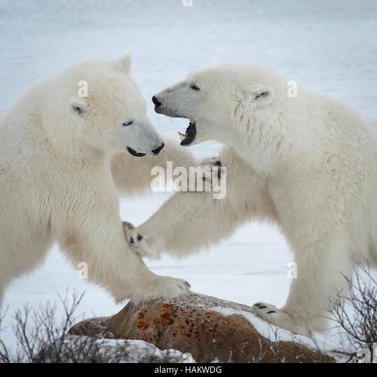 Mother and Daughter Polar Bear Spar - Stock Image