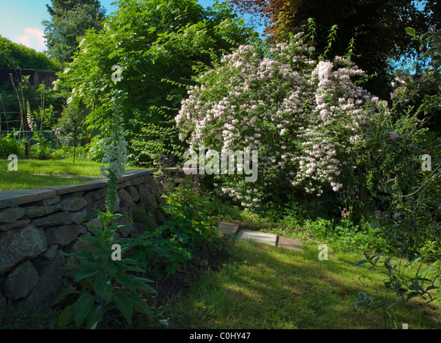 FOXGLOVE AND DIPELTA FLORIBUNDA SHRUB IN GARDEN UK - Stock Image
