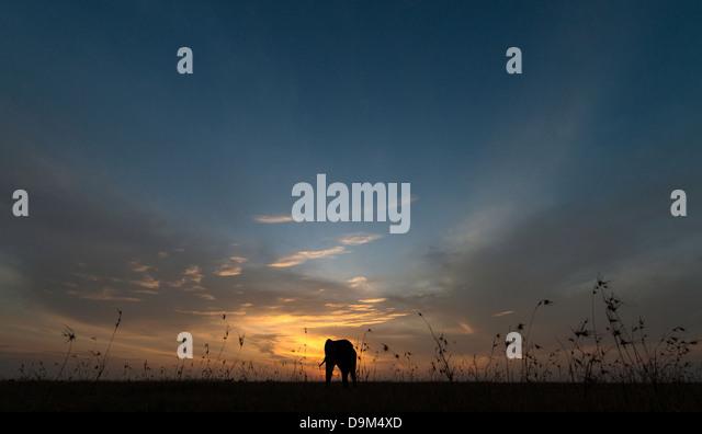 Big adult bull elephant at sunrise Kenya Africa - Stock Image