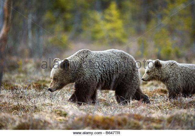Finland, Ruhtinansalmi, near Suomussalmi, Brown bear. Ursus arctos. Mother and cub. - Stock-Bilder
