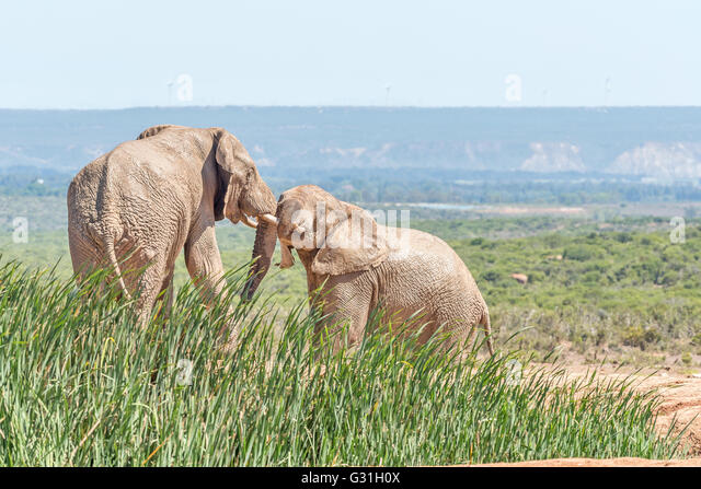 Two young mud covered african elephants loxodonta africana
