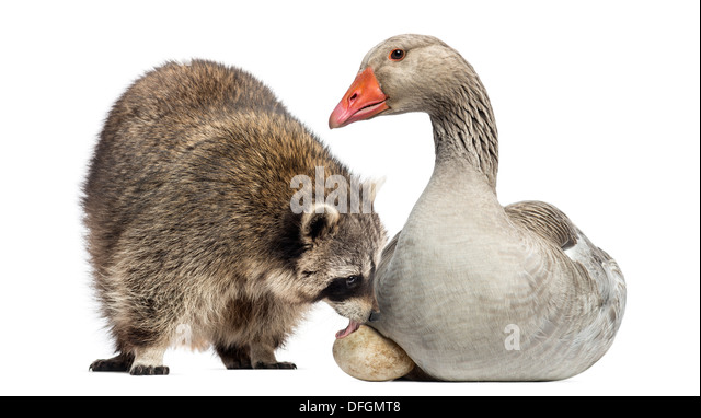 Raccoon, Procyon Iotor, licking Goose egg against white background - Stock Image