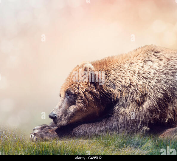 Brown Bear Resting,close up shot - Stock Image