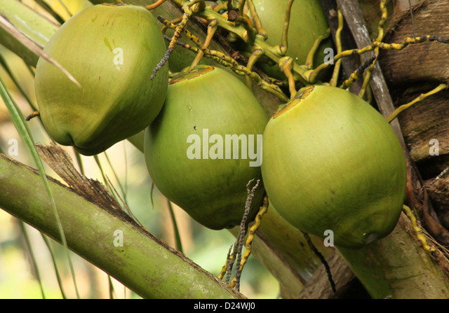 how to grow coconut tree in india