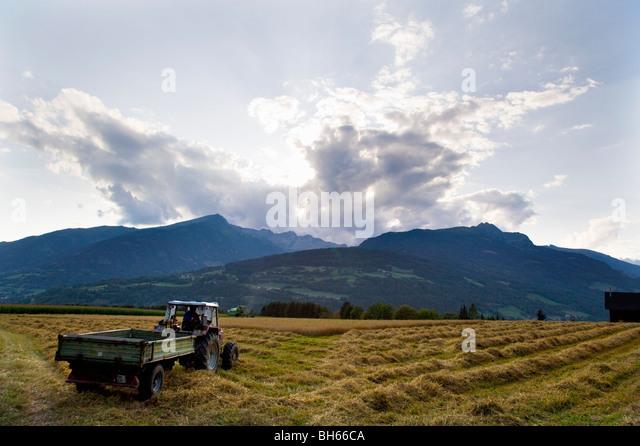 farmer harvesting oat - Stock Image