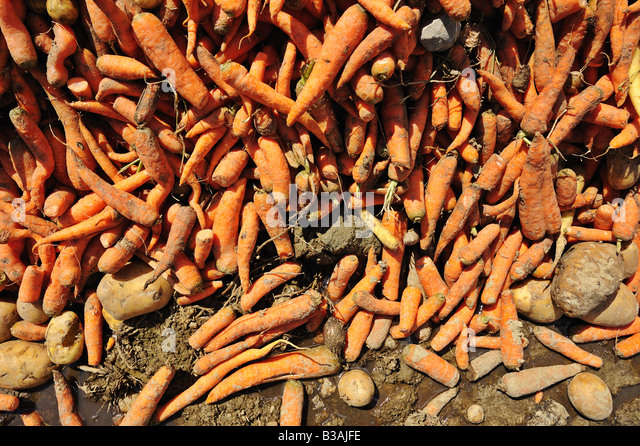 A pile of carrots and potatoes mixed in going to waste in the mud. - Stock Image