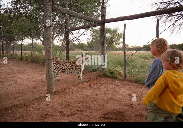 Boys looking at leopard, Harnas Wildlife Foundation, Namibia - Stock Image