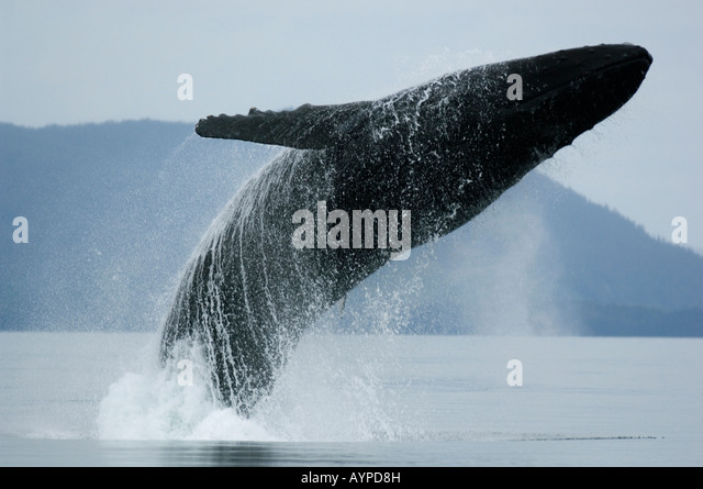 Humpback Whales (Megaptera novaeangliae) WILD, Breaching, Chatham Strait, Southeast Alaska. - Stock Image